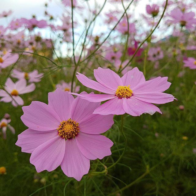 朝の散歩中に見かけたコスモスフィルター効果無し#galaxys7 #cosmos #コスモス #秋桜