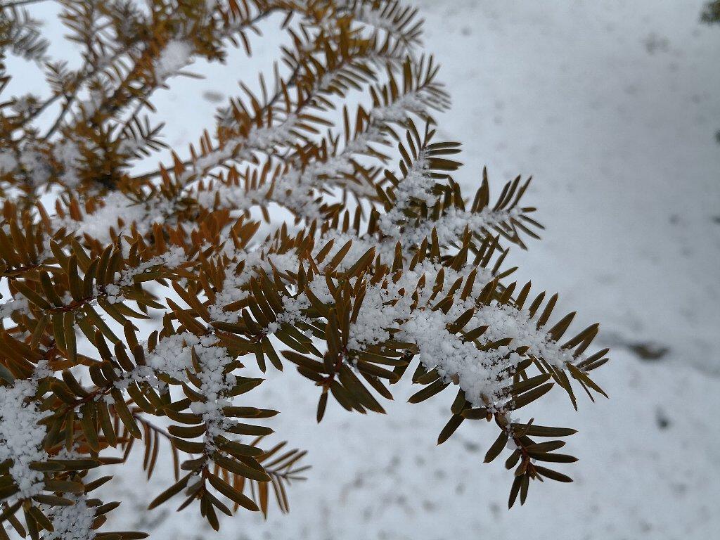 Mate10 Proで撮影した雪のつもった小枝